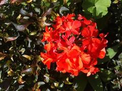 Pelo caminho de manh... (gabi.sl23) Tags: flowers flores flower flor samsung redflower novafriburgo friburgo florvermelha ace3