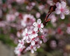 Ah, Spring is springing in step with the time :) (GeorgeOfTheGorge) Tags: oregon march unitedstates plum beaverton fav20 fav30 plumtree prunus floweringplum prunuscerasifera cherryplum fav10 floweringfruittrees purpleleavedplum pissardplum treeblossoming prunuscerasiferavaratropurpurea