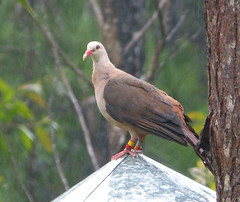 park black birds river national gorge mauritius columbidae taxonomy:binomial=nesoenasmayeri