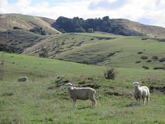 "New Zealand sheeps <a style=""margin-left:10px; font-size:0.8em;"" href=""http://www.flickr.com/photos/83080376@N03/16835714288/"" target=""_blank"">@flickr</a>"