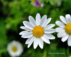 spring your beauty ... (dimitra_milaiou) Tags: world life flowers light two white color green love me nature beautiful beauty smile yellow start garden easter season island happy photography one three petals spring nice nikon focus europe day colours shadows time you earth live first happiness greece round half planet daisy marguerite moment pure fragile andros dimitra 2015 d90     milaiou