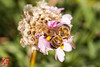How dare you turn your back on me! (*PhotoByJohn*) Tags: california nature garden insect losangeles other flora bokeh places bee 5d honeybee southcoastbotanicgarden ranchopalosverdes insectmacro beemacro photobyjohn canon5dmkii 5dmkii