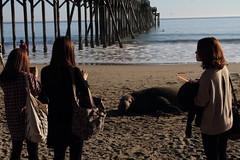 Elephant Seal, Mirounga angustirostris and Tourists, Homo sapiens (aharmer1) Tags: girls elephant beach pier tourists seal sansimeon elephantseal homosapiens miroungaangustirostris mirounga angustirostris sansimeonpier