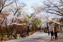 Kyung Hee University (Amélie lai) Tags: vsco seoul sakura school university spring korea travel 대한민국 cherry blossom 旅写真 旅行 写真 ソウル