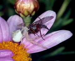 Cangrejita merendando (F. Aurioles) Tags: auto macro digital spider eating flash hunting crab olympus ring mm araña 50 zuiko comiendo e5 dx insecto cangrejo sunpak cazando 8r dipterous