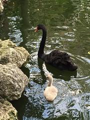 Black Swan (DianesDigitals) Tags: dianesdigitals swans blackswan cygnusatratus florida miami miamiflorida lo