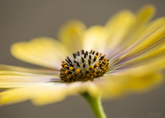 twirl_2 (Lori Bote) Tags: flower macro outdoors petals focus wind stamen focalpoint floralart yellowpetals floralphotography floralimage