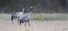 Cranes in the soft spring rain (MatsOnni) Tags: birds linnut commoncrane grusgrus kurki
