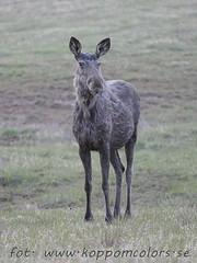 20160506093431 (koppomcolors) Tags: sweden moose sverige scandinavia vrmland lg koppomcolors