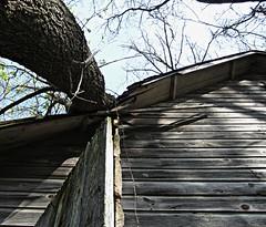 Converging Wood (AmyEAnderson) Tags: wood shadow sky tree abandoned up wisconsin rural spring boards cabin shadows branches trunk shack knots planks sauk upward