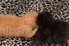 IMG_9463 (jaglazier) Tags: usa cats playing cute animals babies unitedstates tiger may indiana kittens siblings bloomington mammals blackie 2016 52416 copyright2016jamesaglazierandjamesaferguson