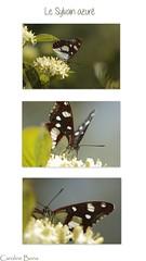 Le sylvain azur (Caro2607) Tags: papillon triptyque sylvainazur
