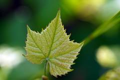 Wein (glaserei) Tags: grn wein
