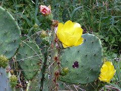 cactus pad flower_50630 (San Marcos Greenbelt Alliance) Tags: flowercloseups ringtailridge sanmarcosgreenbeltalliance smgaphotobylancejones