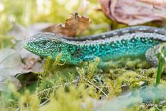 Sand lizard (a3aanw) Tags: awd amsterdamsewaterleidingduinen