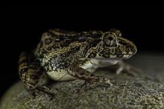 Asian grass frog (Fejervarya limnocharis) (Dinindu Liyanapathirana) Tags: macro nature rain closeup blackbackground night trekking nikon hiking wildlife amphibian frog toad sarawak borneo herping d7100