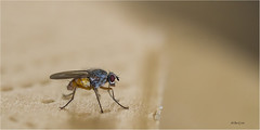 Fly 140516(8*) (Gertj123) Tags: macro netherlands insect fly dof bokeh eating insects common canon7d canonef100mm28l