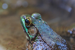 Frog (Jemlnlx) Tags: park 3 macro beach nature animals canon point eos zoo mark connecticut iii ct center 11 100mm madison 5d amphibians f28 ef reptiles renovated meigs 2016 hammonasset