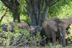 Suedafrika-30 (Lukas P Schmidt) Tags: elephant nationalpark krugerpark