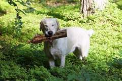 Grinser die 2. (glaserei) Tags: labrador retriever hund goldie haustier hunde iva labi