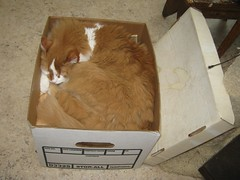 Neatly Packed (Sea Moon) Tags: sleeping cute cat pumpkin feline box kitty security curled