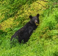 Black Bear Eating Vegetation In Shenandoah National Park (clearlanding) Tags: bear park nature animals nikon wildlife national shenandoah blackbear