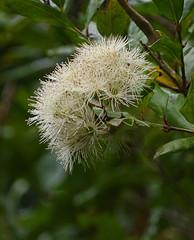 IMGP9421 Eugenia maire (Maire tawhaki)flowers Zealandia Wellington NZ 10-05-16 (Donald Laing) Tags: new plants native wildlife donald zealand wellington sanctuary laing zealandia