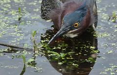 green heron (don.white55 That's wild...) Tags: bird heron nature pond feeding wildlife waterfowl habitat greenie waterbirds wildwoodpark dauphincounty wildwoodlake donwhite greenheronbutoridesvirescens pennsylvaniawildlife pennsylvanialakes theartistseyes canoneos70d tamronsp150600mmf563divcusda011 donpwhitephotography thatswildnaturephotography