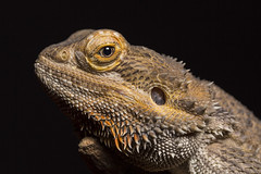 Central bearded dragon (frosol) Tags: macro nature canon eos natur makro lizzard ef100mm gle krypdyr canoneos5dmarkiii 5dmkiii 5dmarkiii ef100mmf28lmacroisusm