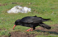 Chough (ChrissyM2) Tags: nature birds wales wildlife chough corvid welshcoasts