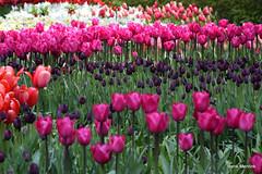 Tulpenrijen (Henk M gardenphotoblog) Tags: flowers spring tulips lente bloemen keukenhof tulpen