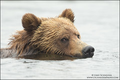 Grizzly Bear swimming past (Greg Schneider (gschneiderphoto.com)) Tags: ursusarctoshorribilis ears eyes fur grizzlybear gschneiderphotocom head swimming