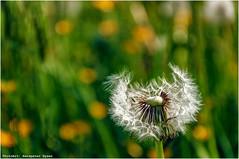 Lwenzahn (Hanspeter Ryser) Tags: natur wiese dandelion gras frhling lwenzahn verwelkt landcap