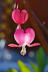 HEARTBEAT  (Shootmania) Tags: pink light flower garden spring nikon bokeh outdoor bleedingheart blume makro trnendesherz