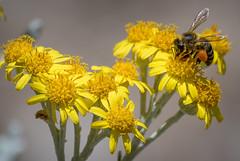 Bee (ToddLahman) Tags: flower canon bee safaripark escondido canon100400 sandiegozoosafaripark canon7dmkii