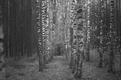invitation (Mindaugas Buivydas) Tags: wood trees summer bw tree june pine forest evening mood moody birch lithuania shallowdepthoffield lietuva kairnaiforest kairnmikas