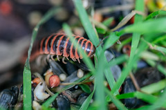 Out of the Earth it Arose (Gabriel FW Koch) Tags: wild orange brown macro green grass closeup canon insect eos weird dof legs earth wildlife 100mm creepy centipede crawling millipede feelers