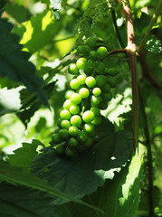 w ogrodeczku 3 (koty3) Tags: w ogrodeczku ingarten winogrono weintrauben