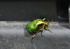 160605 icdN 160607  Thethi (thethi: pls read the 1st comment) Tags: nature insecte coloptre ctoine cetonia compost jardin juin namur wallonie belgique belgium cetoniaaurata bestof2016 albumjuin setnamurcity setvosfavorites faves63 ruby20 ruby22