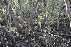 SOP-040716-013 (alison.klein) Tags: wetlands mangroves sydneyolympicpark