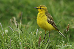 YELLOW WAGTAIL (M) ELMLEY MARSHES / SHEPPY / KENT / U.K (Tom Webzell) Tags: naturethroughthelens