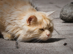 Hi, I'm Linus ! Who are you ? (FocusPocus Photography) Tags: pet animal cat chat linus gato hunter katze haustier kater tier fliege jger fy