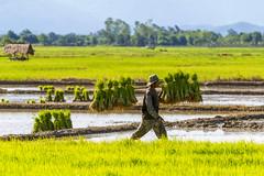 ChiangRai_7796 (JCS75) Tags: canon thailand asia asie ricefields chiangrai thailande rizire