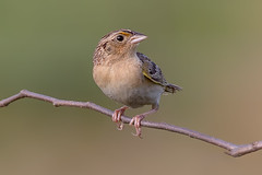 Grasshopper sparrow (Phiddy1) Tags: commun up here