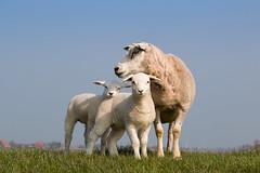 Eine gemtliche Familie (Anja van Zijl) Tags: animal sheep sheeps tier schaf deich schaap makkum