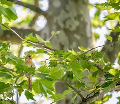 Juvenile cardinal (Erinn Shirley) Tags: tree bird nature leaves animal arlington outdoors virginia cardinal juvenile fairlington erinnshirley