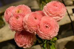 Ranunculus (PMillera4) Tags: pink flowers flower ranunculus