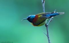 / Green-tailed Sunbird / Aethopyga nipalensis angkanensis (bambusabird) Tags: birds animals forest thailand nikon rainforest wildlife tropical chiangmai oriental sunbird doiinthanon greenforest bambusabird