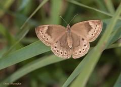 Eyed Brown (sbuckinghamnj) Tags: butterfly newjersey appalachiantrail eyedbrown