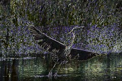 Glowing Heron  (Filtered #4) (brev99) Tags: bird grass pond obstacle greatblueheron glowingedges d7100 topazdenoise tamron70300vc photoshopelements12